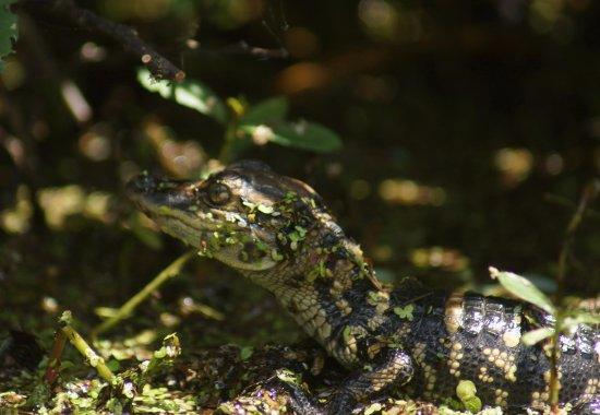 Jupiter, Flórida: Alligator (Alligator Mississippiensis) {juvenile}