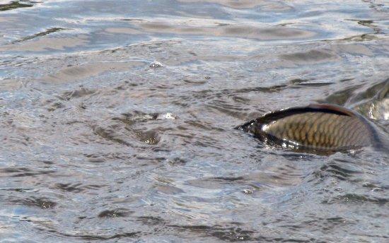 Long Point: Carp spawning