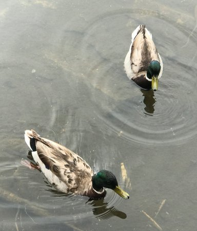 Brighton, UT: Ducks