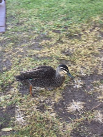 West Beach, Australia: Super friendly ducks at the caravan site