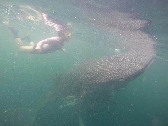 Derawan Islands, إندونيسيا: Hiu paus di Talisayan