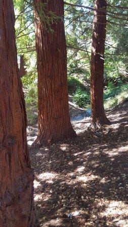University of California, Berkeley: Sequoia trees