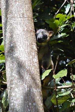 Malanda, Australia: Tree Kangaroo
