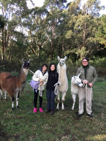 Woodend, ออสเตรเลีย: our day spent with 3 very friendly adorable llamas and our amazing guide, Mark