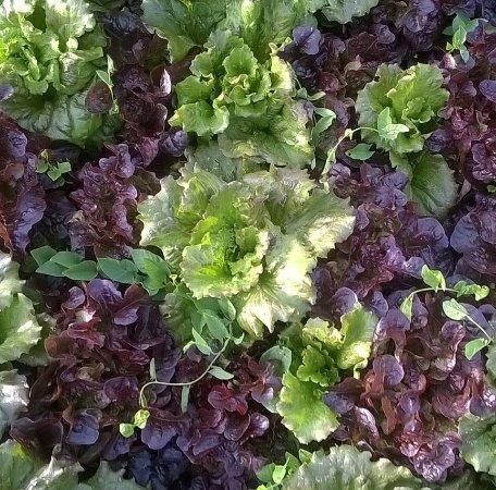 Orsogna, Italy: insalate verdi e rosse