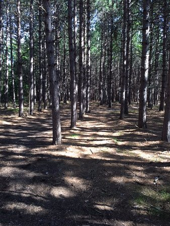 Roscommon, MI: Pines planted by the state tree nursery. Seen along the fitness trail.