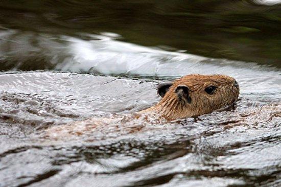 Roger Tours: Ronsoco uno de los mamíferos más grandes. Reserva Nacional Pacata Samiria