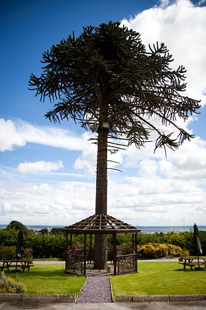Pentre Halkyn, UK: View of the Monkey Puzzle Tree