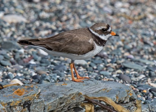 Cemaes Bay, UK: Ringed Plover Charadrius hiaticula Cemlyn Bay Anglesey Wales 09/07/17