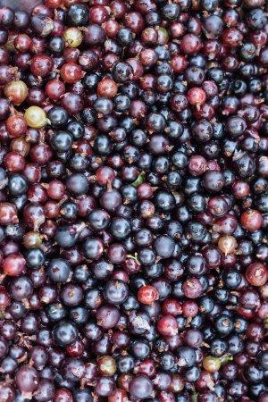 Wootton Fitzpaine, UK: Black currants