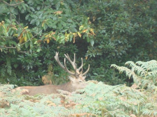 Richmond, UK: Stag prowling