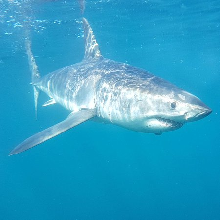 African Shark Eco-Charters: great white shark! :)