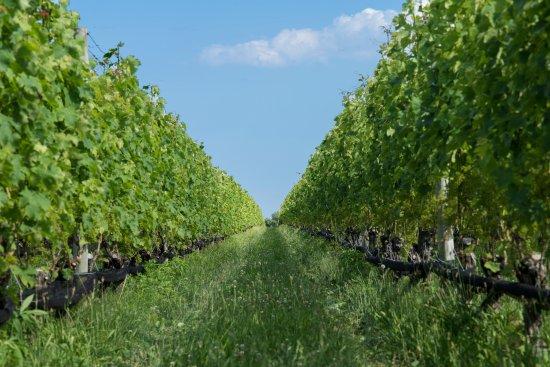 Mattituck, Estado de Nueva York: Shinn Estate Vineyards - the vines