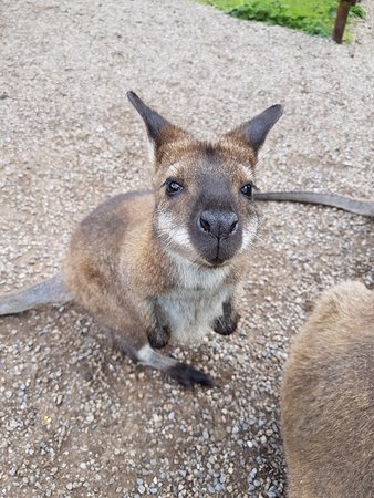 Bedale, UK: Wallaby