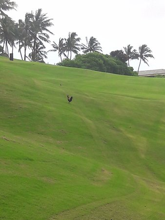 Banyan Harbor Resort: Kalapaki Golf course and the quintessential Kauai fowl
