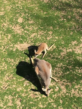 Gainesville, TX: Kangaroos viewed from the elevated walkway
