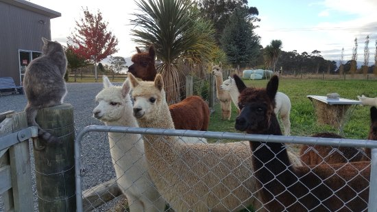 Manapouri, Nowa Zelandia: Young Alpacas being supervised by Sharlotte at Wild Wool Gallery