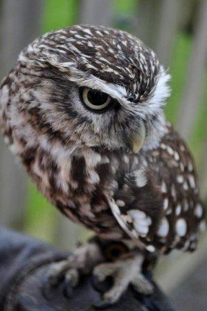 Kilmallock, Ирландия: Eddie, Burrowing Owl