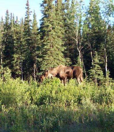 EarthSong Lodge - Denali's Natural Retreat: Moose just down road from cabin
