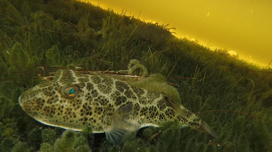 Chuburna, Mexique : We have so many puffer fish here in the Ria....