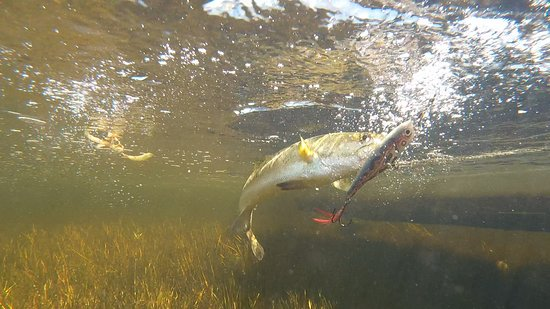 Chuburna, Μεξικό: Top water Rapala lures, the trout just love them!!!