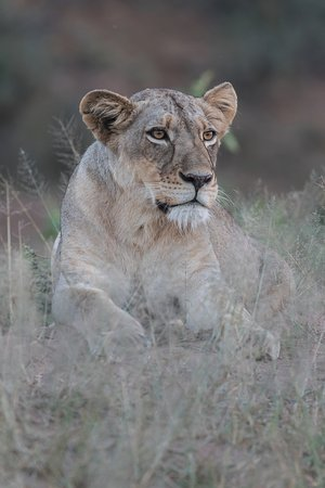 Sausage Tree Safari Camp: Lion