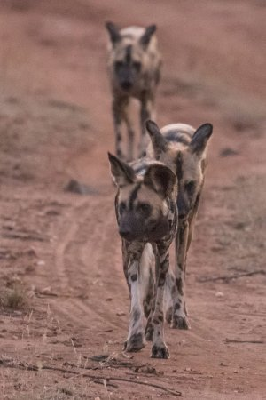 Sausage Tree Safari Camp : Wilddog