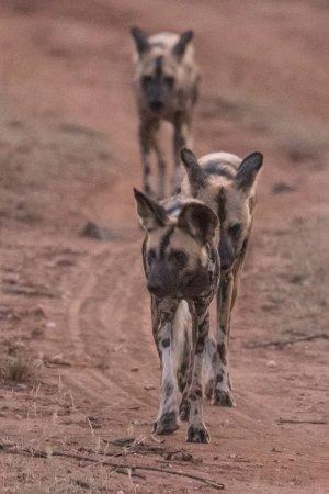 Sausage Tree Safari Camp: Wilddog