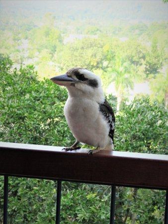 Edge Hill, ออสเตรเลีย: kooka bird that visits the property
