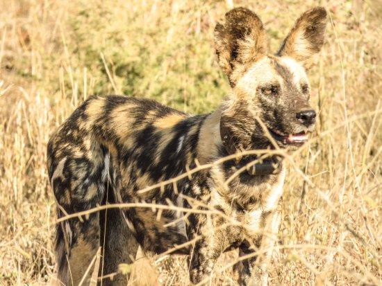 Mkuze, Güney Afrika: Wild Dog