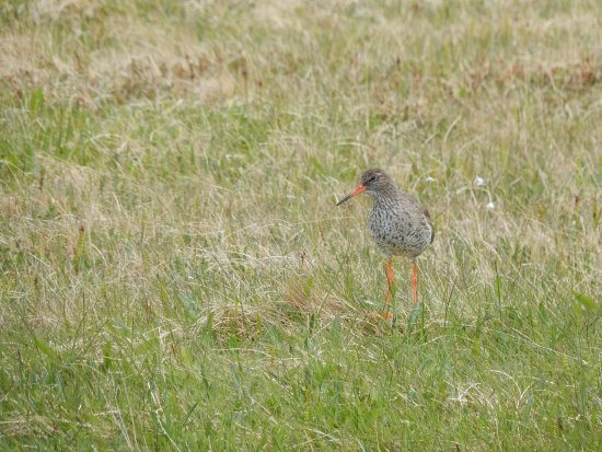 Grimsey Island, Iceland: common Redshank