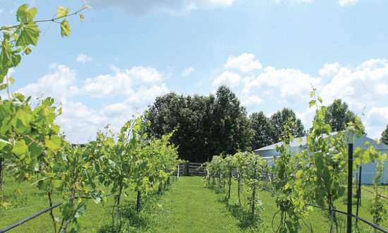 Excelsior Springs, MO: Four Horses and a Dog is a vineyard and winery that came to life in 2008 and is located in Excel