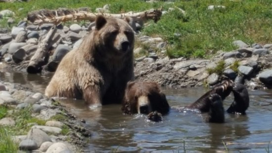 Montana Grizzly Encounter: Bella playing with her feet.