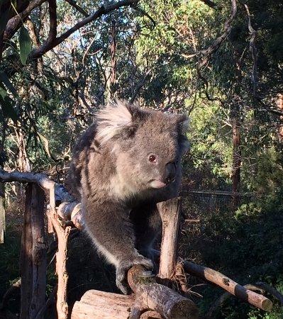 Cowes, Australien: Koala closeup