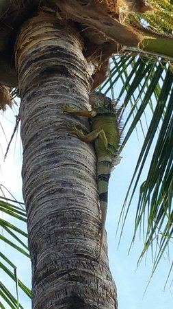 The Hammocks at Marathon: Iguana in tree