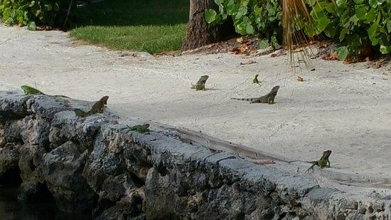 The Hammocks at Marathon: iguanas on sand area back of resort