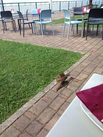 Ranco, Italia: Hovering bird seeking scraps
