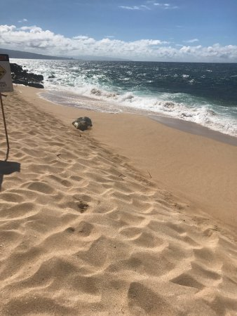 Paia, HI: Beached Seal Taking in the sun