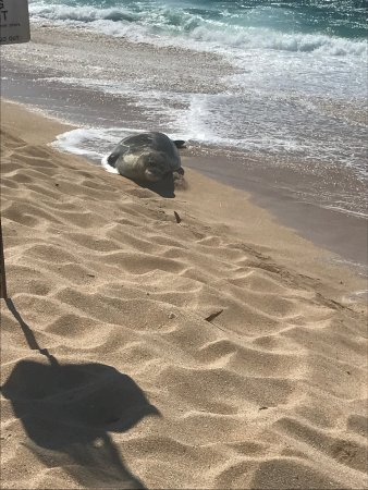 ‪‪Paia‬, هاواي: Beached Seal Taking in the sun‬
