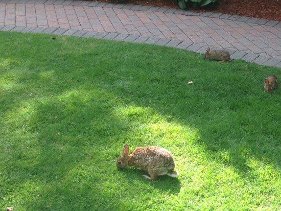 ไฮแอทท์รีเจนซี่ แคมบริดจ์, โอเวอร์ลุคกิ้ง บอสตัน: Wild rabbits inhabit the rear courtyard.