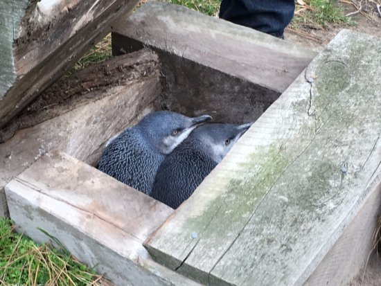 Pohatu Penguin Habitat: two blue penguins setting down to nest.