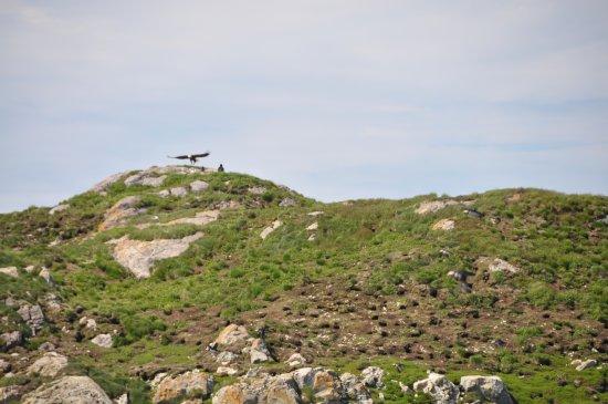Ketanja Boat Tours: A bald eagle out at Little Fogo Island