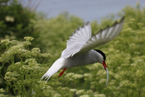 Seahouses, UK: Dive bombing Arctic Tern with the single fish they bring in for their family.