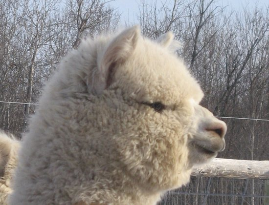 Vernon, Kanada: Huacaya Alpaca at Camelot Haven