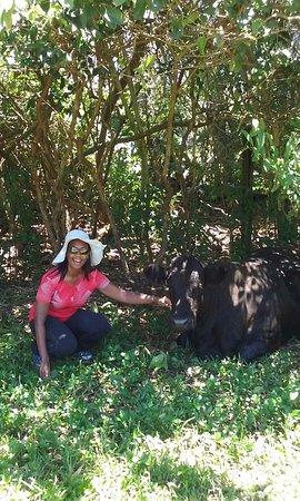 Haiku, HI: Dorothy the cow appreciates shade