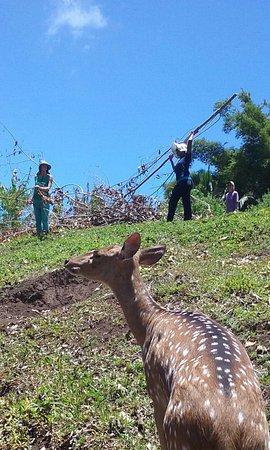 Haiku, HI: Veronica the deer supervises our pasture clean-up