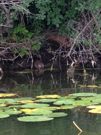 Chain of Lakes: Muskrat