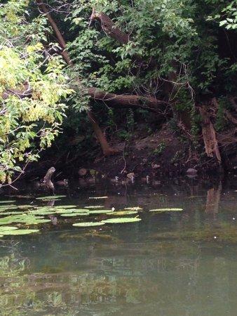 Chain of Lakes: Baby Ducks