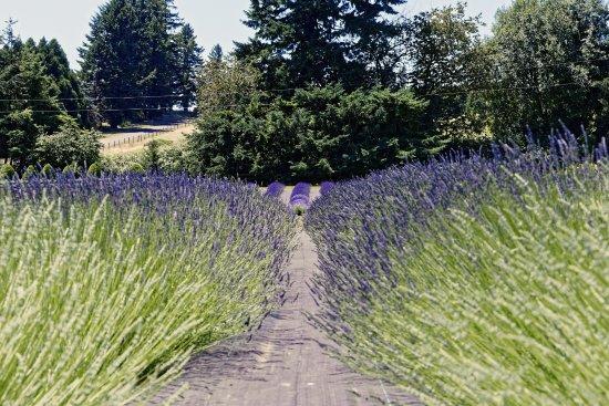 Wayward Winds Lavender Farm
