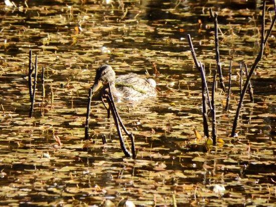 Halfmoon Bay, Kanada: Duck on bog